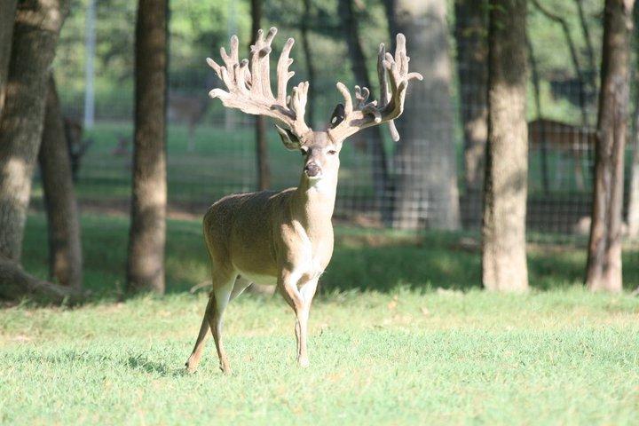Bambi Yardstick