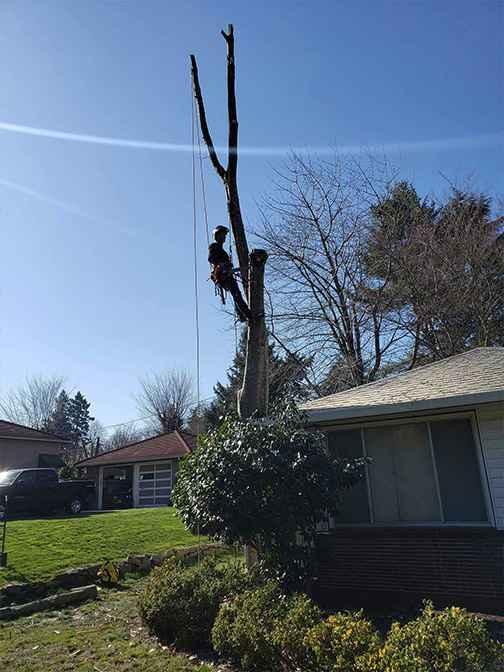 Dead Tree Removal Service