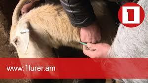 Կենդանիներ պատվաստող մասնագետները կհամալրեն անասնաբույժների շարքերը