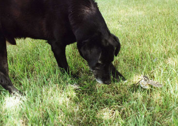 A dog sniffing at the grass