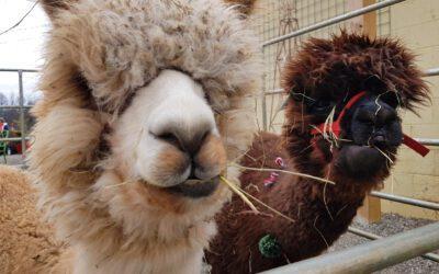 Alpacas, Baby Goats, Kettle Corn & Shanti Elixirs Here!