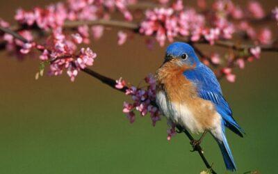 A Songbird in Your Garden