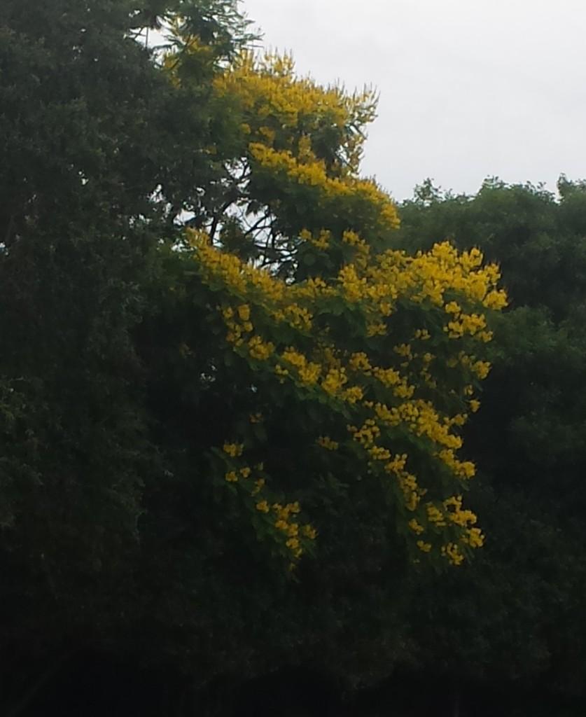 Tree - Yellow Poinciana