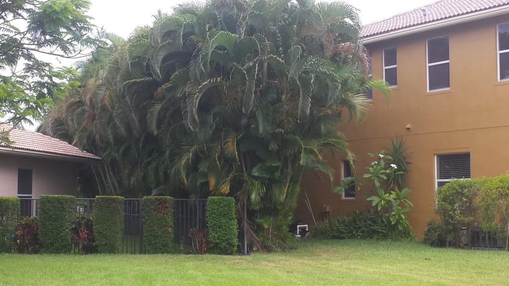 palm - Areca palm (privacy planting) mature