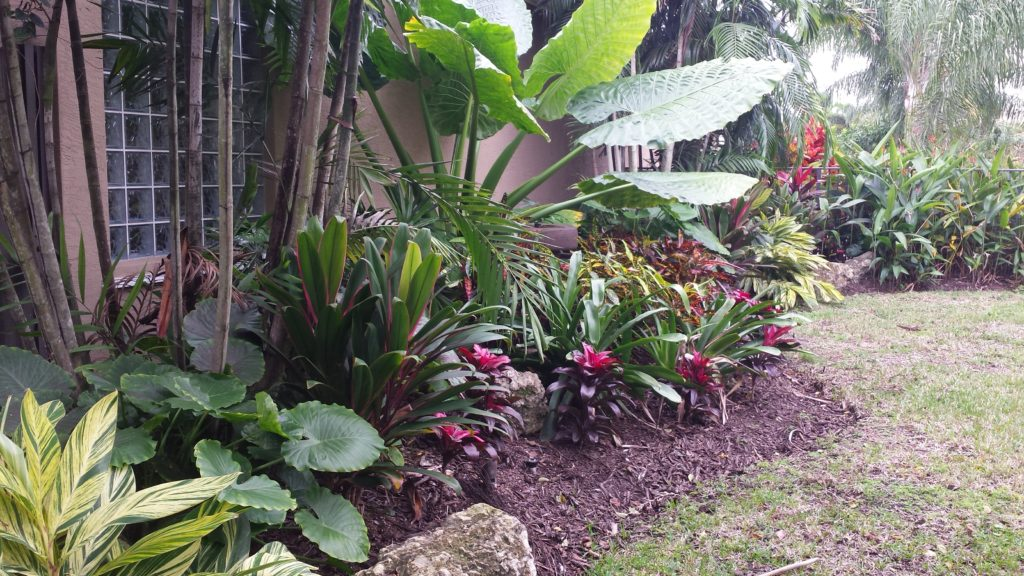 This photo shows the length of a neighbor's wall which served as the backdrop for our customer's small backyard. They were seeking a lush tropical look for a small area, with a love for Crotons , big leaf plantings and color, we provided a mix of Ti plant varieties, Bromeliad varieties, Alacacia varieties with a backdrop of a thin Lineare palm & Lady palms. Heliconia with Orange blooms from a side neighbors home were picked up and repeated to balance the view which blended with the desired style. The star of the garden, in the middle is the Borneo Giant Alacacia, with the large leaves with a front planting of Croton Johanna as a simple planted centerpiece.