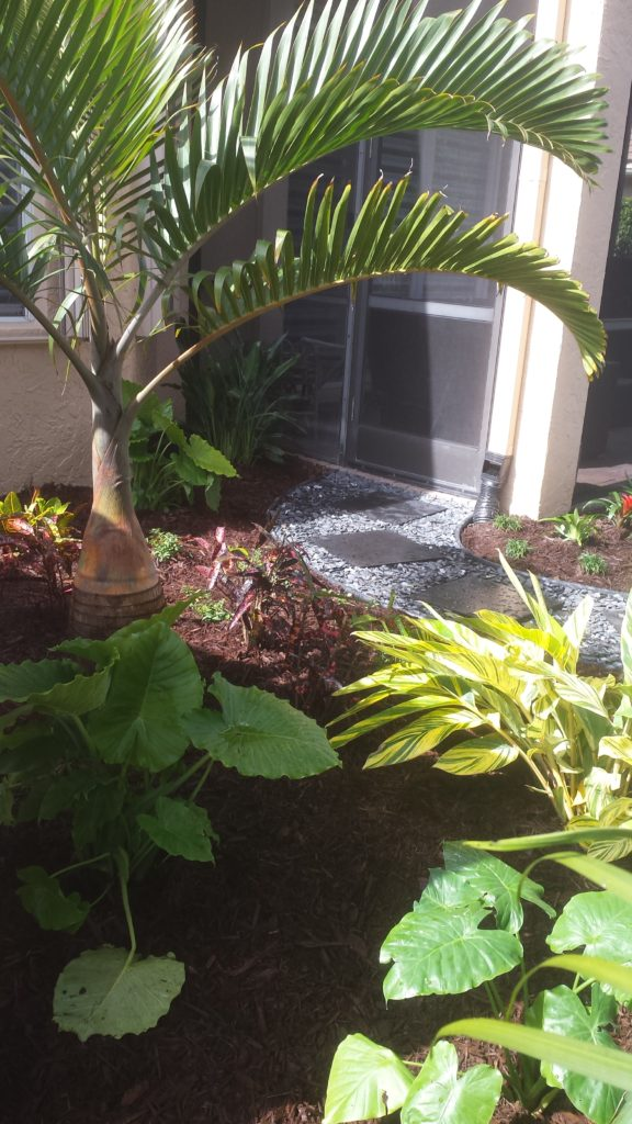 This photo shows the rock and step stone pathway which meandered through the garden from one side screen door to the other off of the rear patio. In the photo, by the house column at the bottom, you can see the attachment that was made to the gutter downspout to help re-direct the water coming off the roof below the garden through piping. The exit point of the drainage piping was behind the landscape at the rear of the property by the community easement. A Bottle palm, California Alacacia and Verigated Ginger adorn the view.