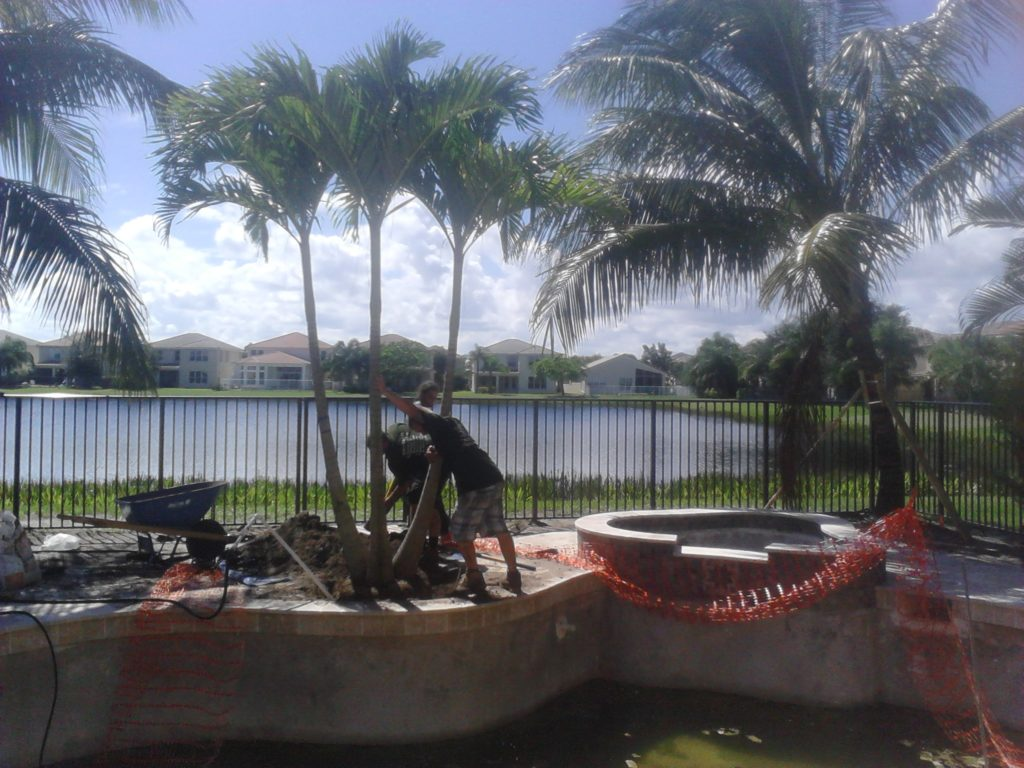 This photo shows our guys installing a 12' - 14 Christmas palm (triple stem) by hand into a pool planter pocket off the side of a new swimming pool. This was a narrow property and was an add on after we installed the Coconut palms you can see in the background. Because the fencing was up at this point, and this variety of palm was light enough that we could dolly it through a narrow side fence area into its position.