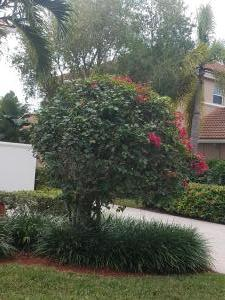 Bouganvillea - Standard tree with red blooms & Green Liriopi planted below