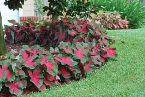 Caladium plants - 2 different varieties - annual plantings - seasonal only