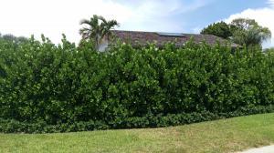 Clusia G. - 8' hedge+