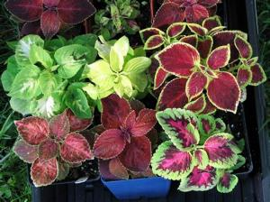 Coleus - a variety of different leaf style examples