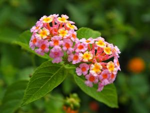 Lantana - 'Confetti' - Pink, peach, yellow bloom - close up of flower - Ground Cover