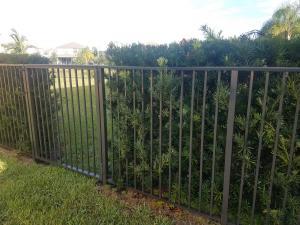 Podocarpus - kept at 4' fence height