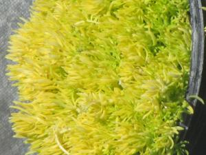 Sedum - Gold ground covering