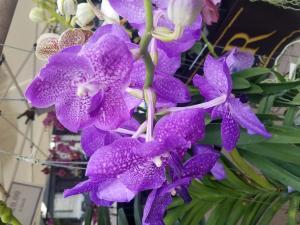 Orchids (purple)