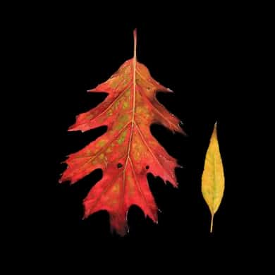 Oil painting on wood of autumn leaves by Canadian painter Joanna Strong.