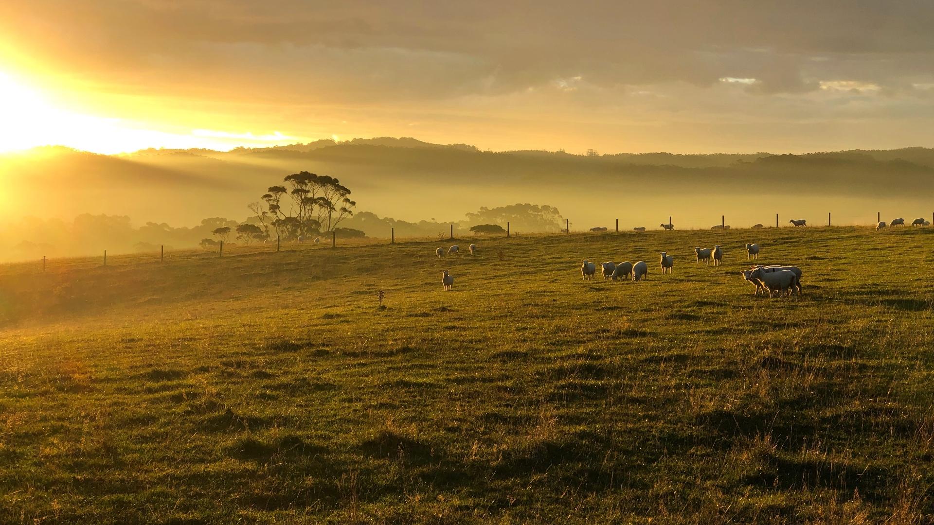 Studio Garden View of Sheep