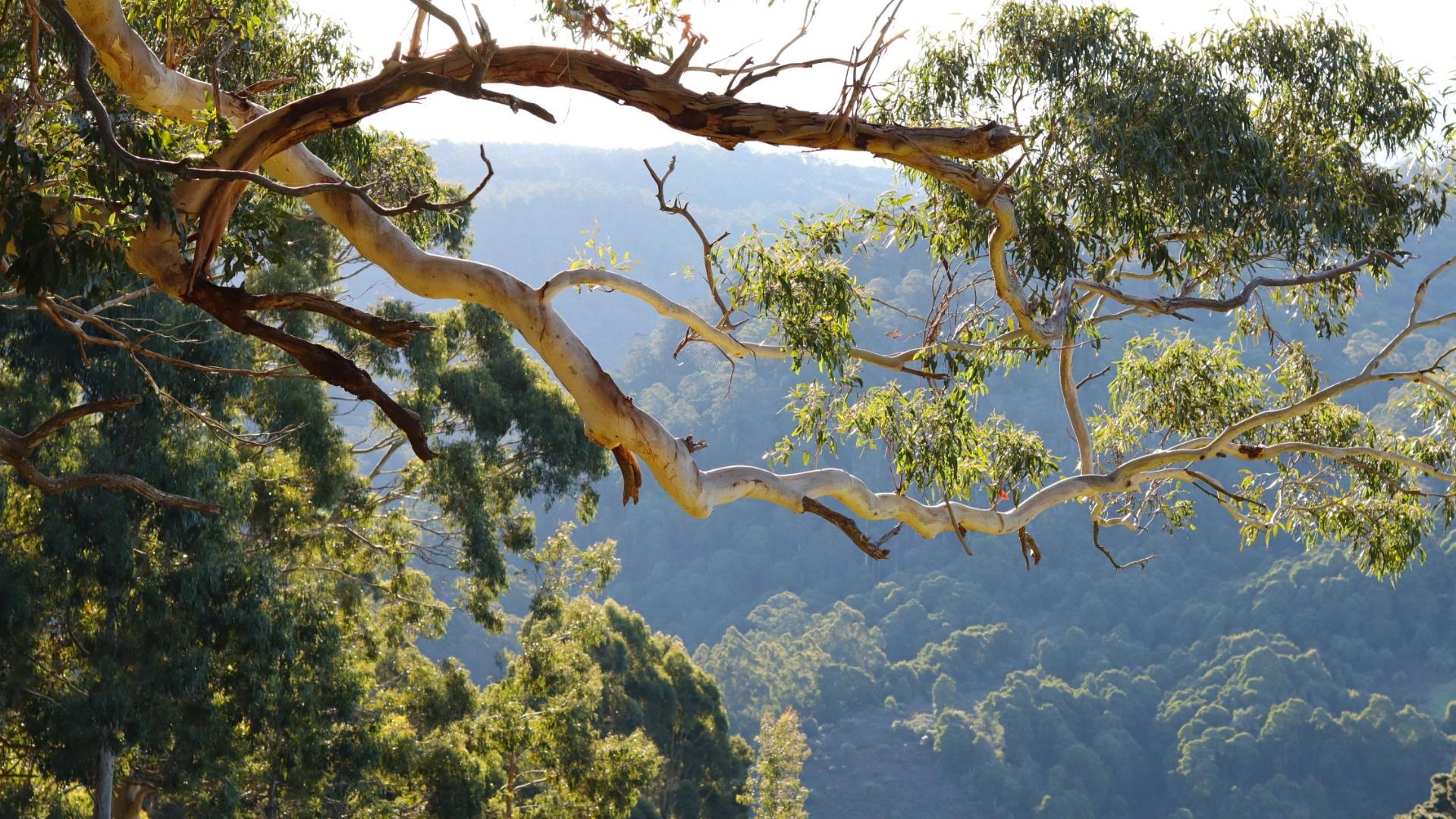 Studio Garden View of Eucalypts