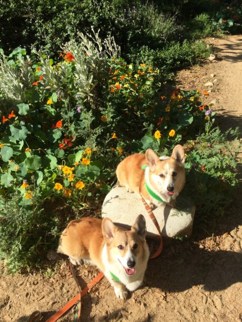 Corgis at Arlington Garden