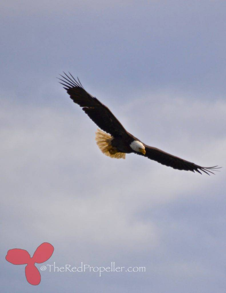 Our resident eagle