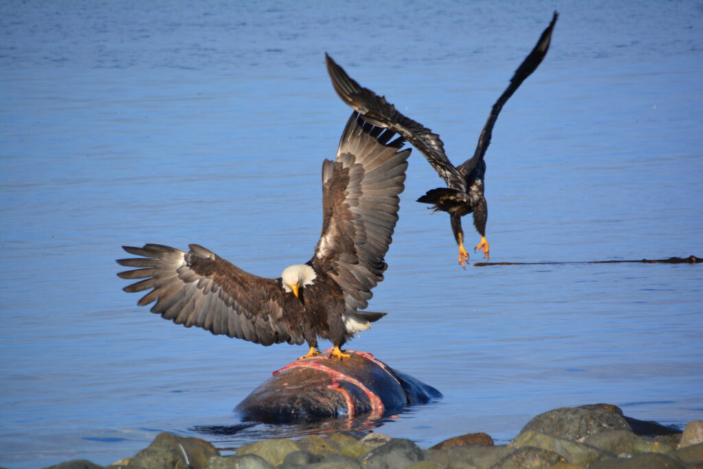 Eagles feasting on a sea lion