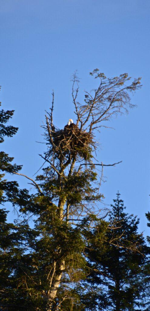 Eagles nesting next door.