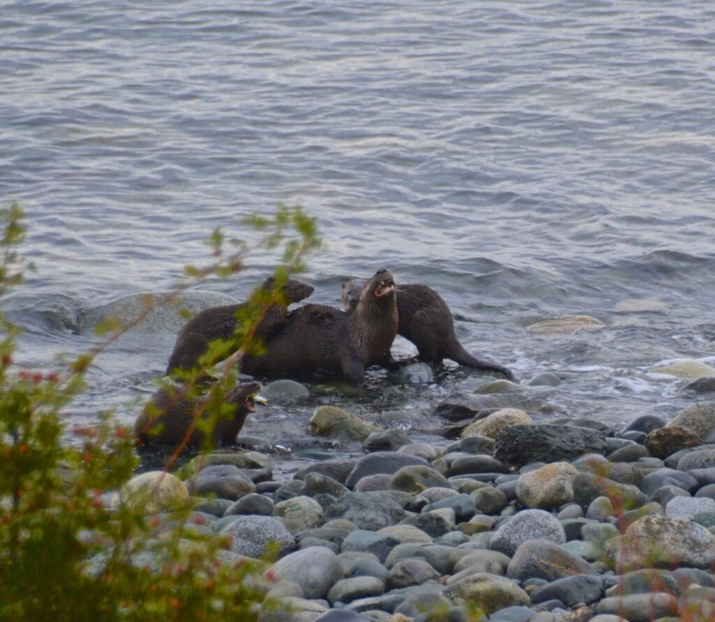 Otter family feasting
