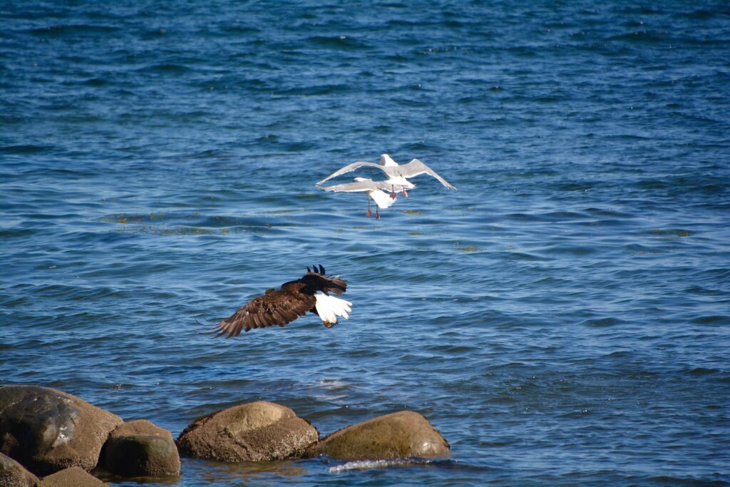 Eagles and seagulls