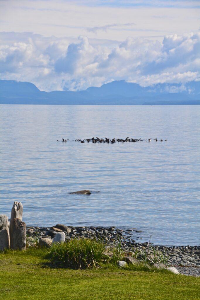Sea lions rafting