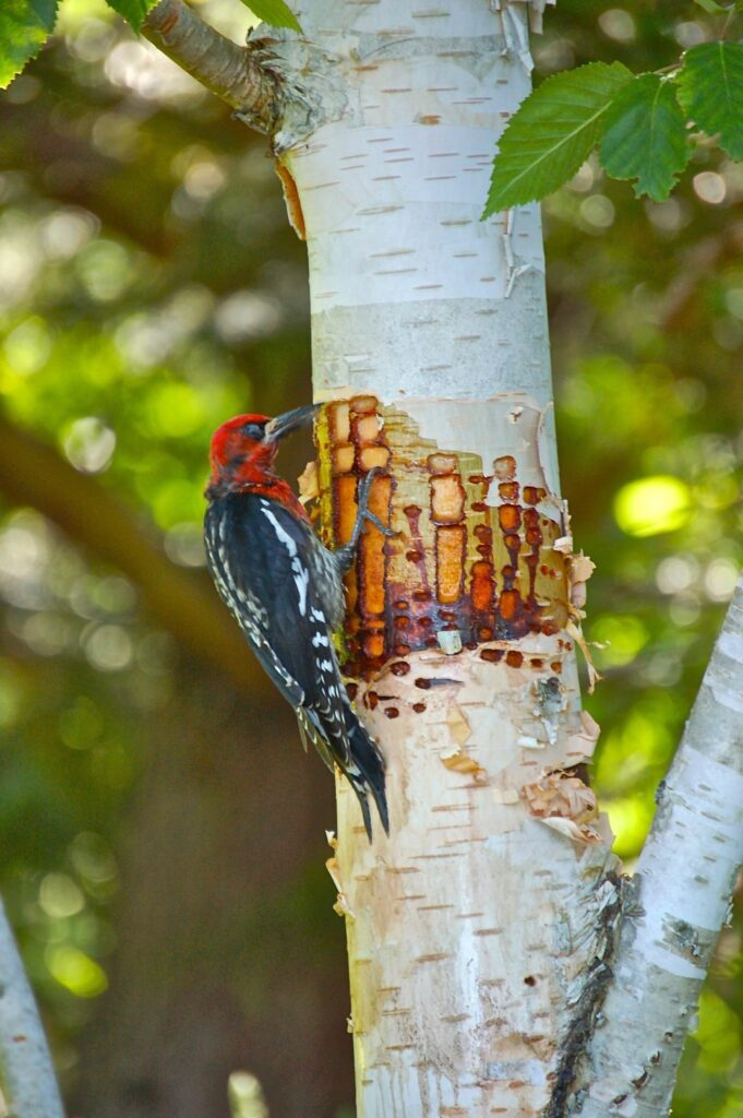 Red Breasted Sapsucker