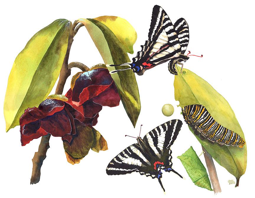 1- Zebra Swallowtail life cycle