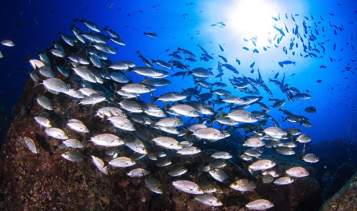 school of Panamanian fish
