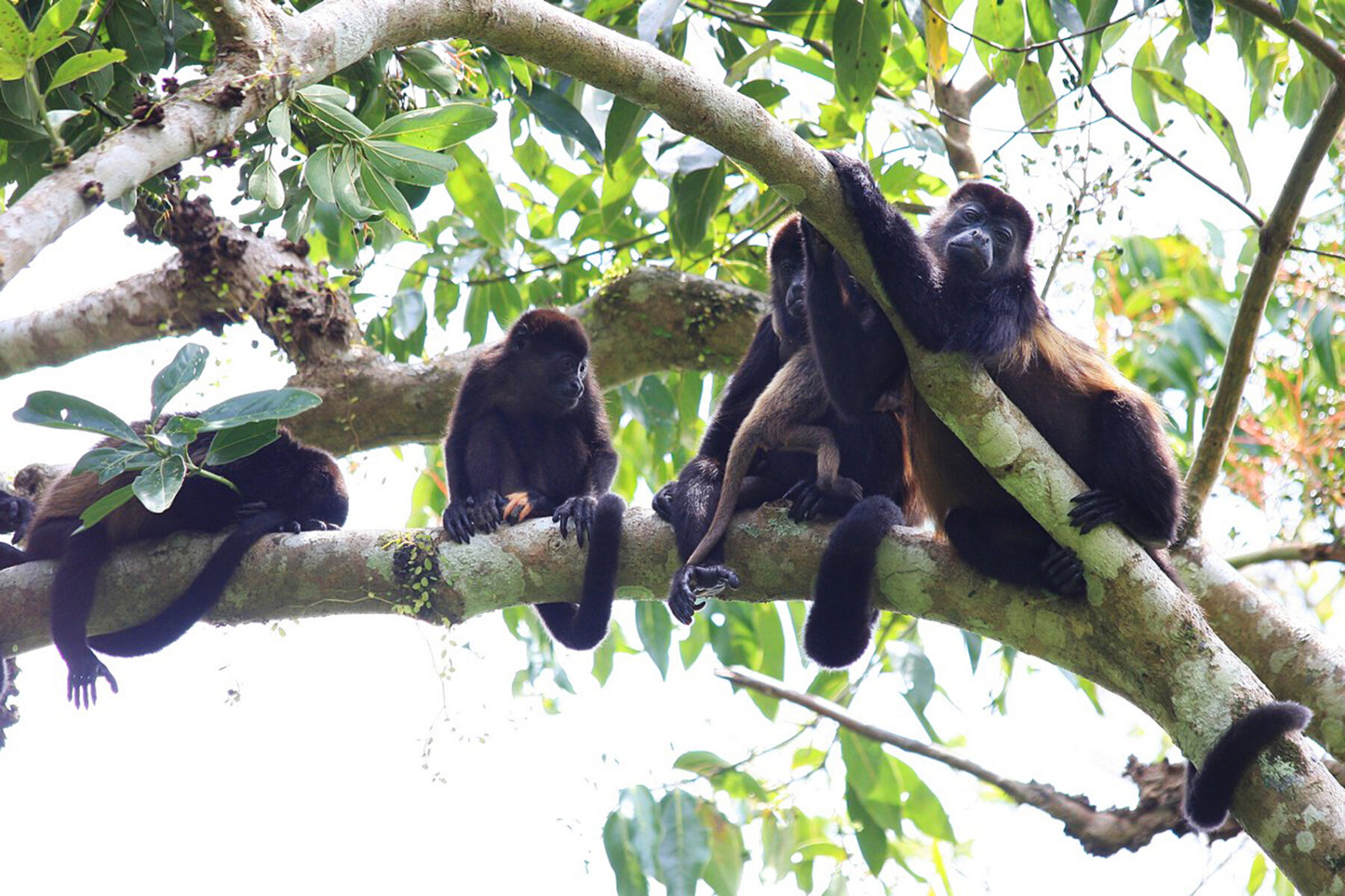 Panama's Island of Boca Brava is a Howler Monkey Haven