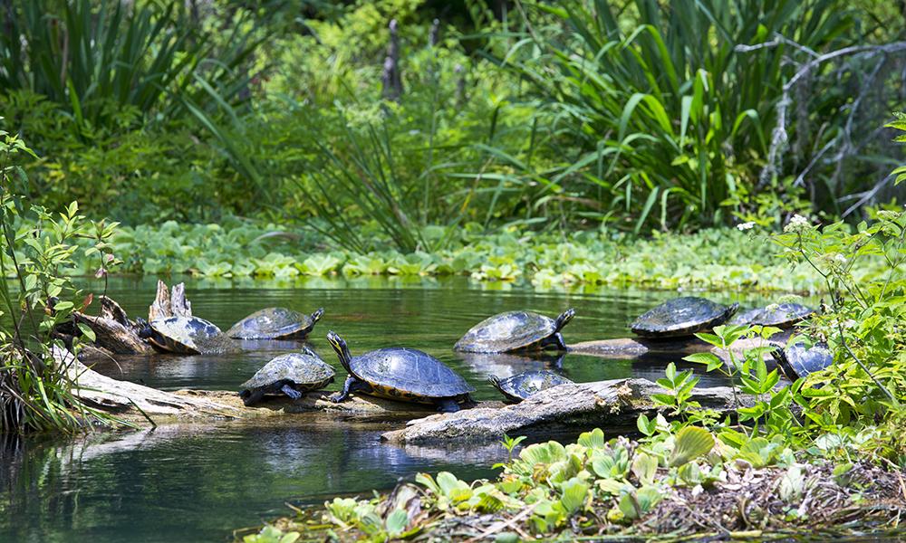 Turtles on Ichetucknee
