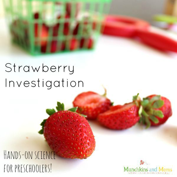 Strawberry science investigation for preschoolers! Find out where the strawberry seeds REALLY are!