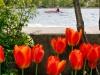 Merrickville Tulips