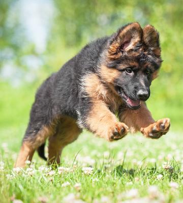 Michigan German Shepherd Breeder Puppies for sale