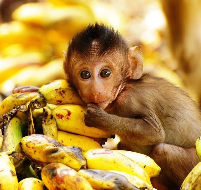 Primate_Bananas