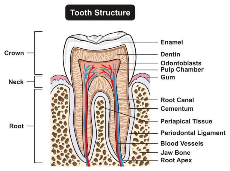 The Structure Of Your Teeth