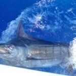 blue-marlin-photo-5