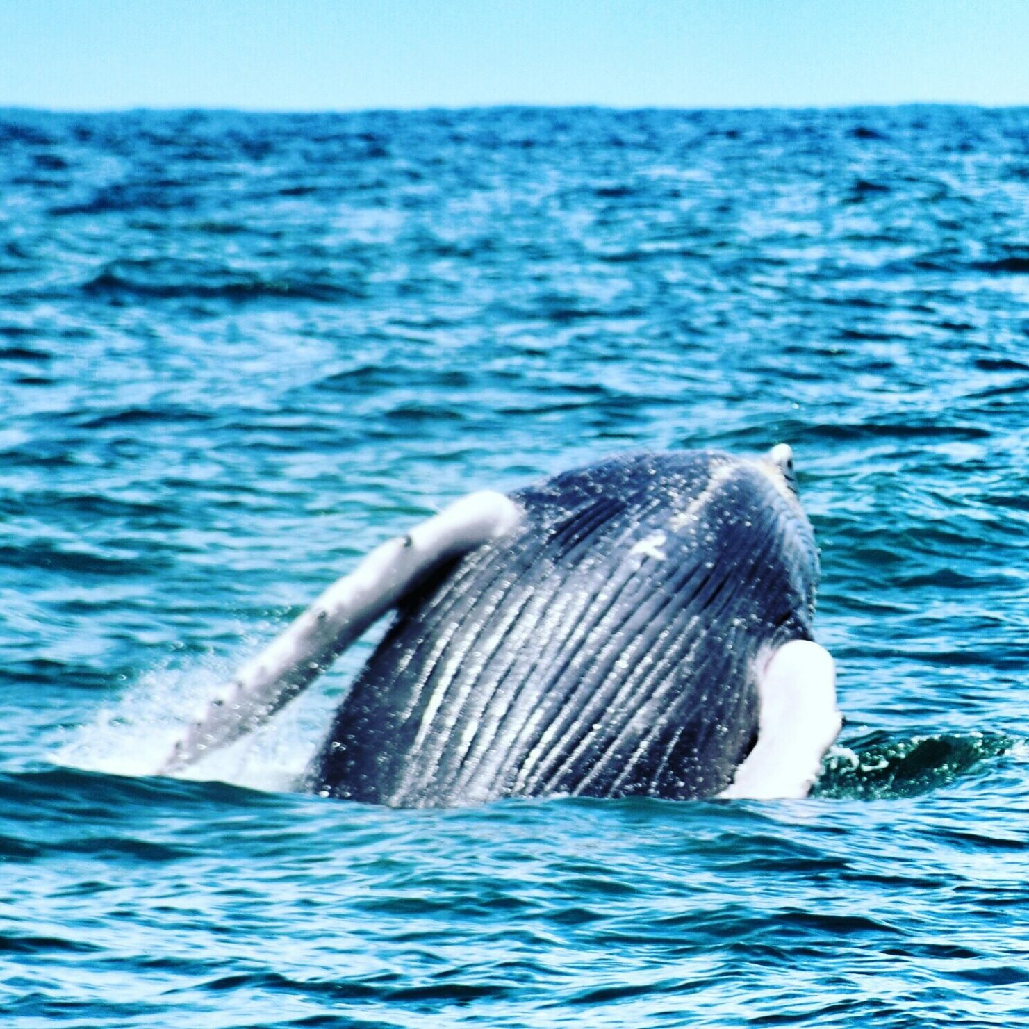 whale in uvita costa rica