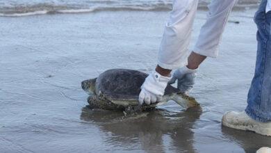 Photo of Tartaruga-verde é solta após tratamento