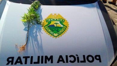 Photo of PM encontra pé de maconha plantado em terreno baldio de Pontal do Paraná