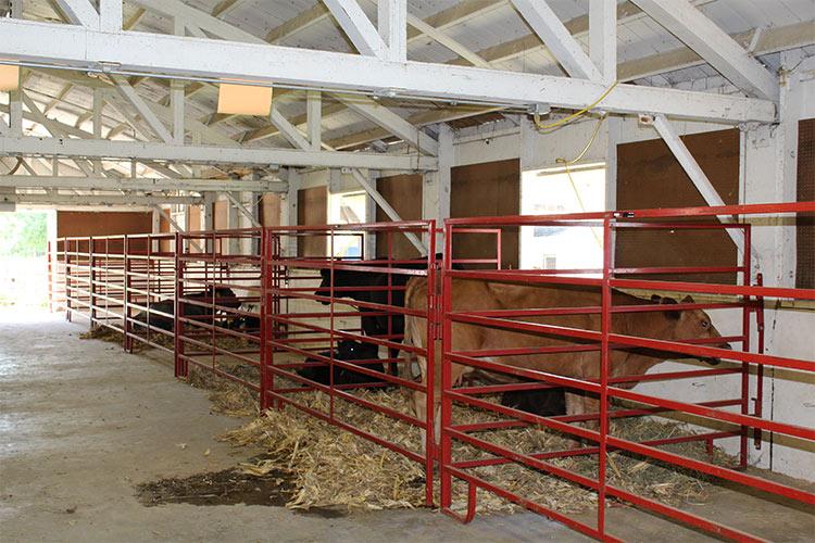 cattle in pens