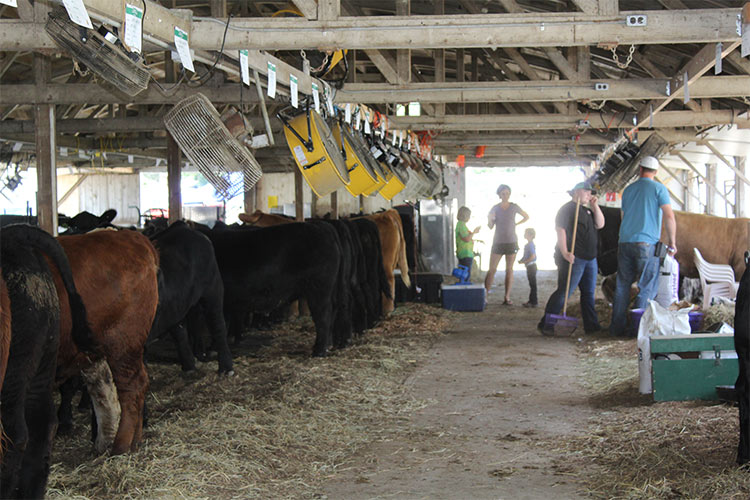 cattle and people in barn