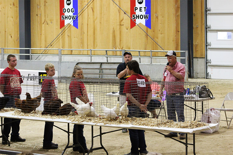 chicken show at fair