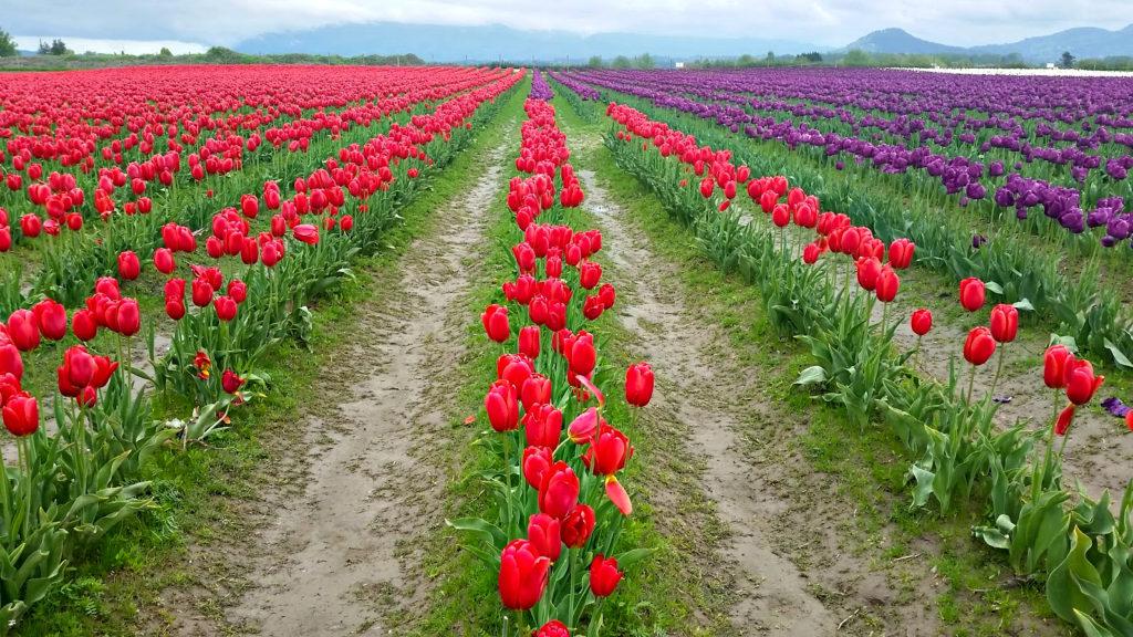 Tulip Fields - SOMTS