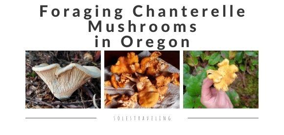 foraging for chanterelle mushrooms oregon