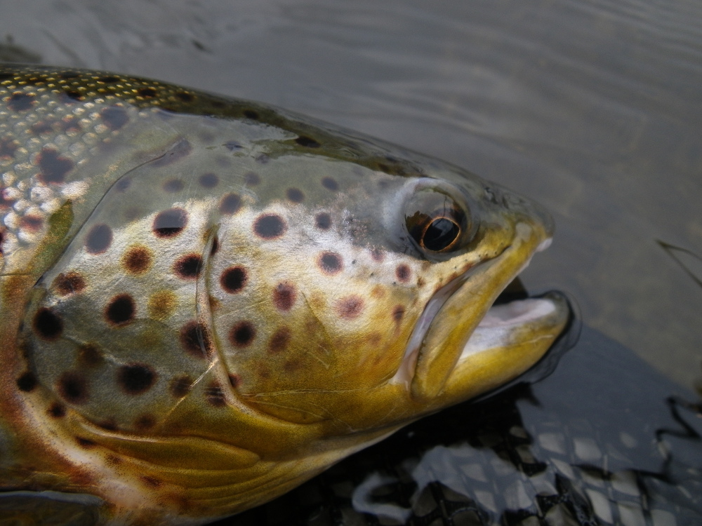 Brown Trout from the Grand