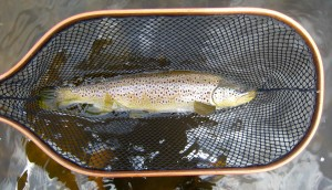 19 Inch Female Grand River Brown Trout _Rushton_Net The Brown Model AA
